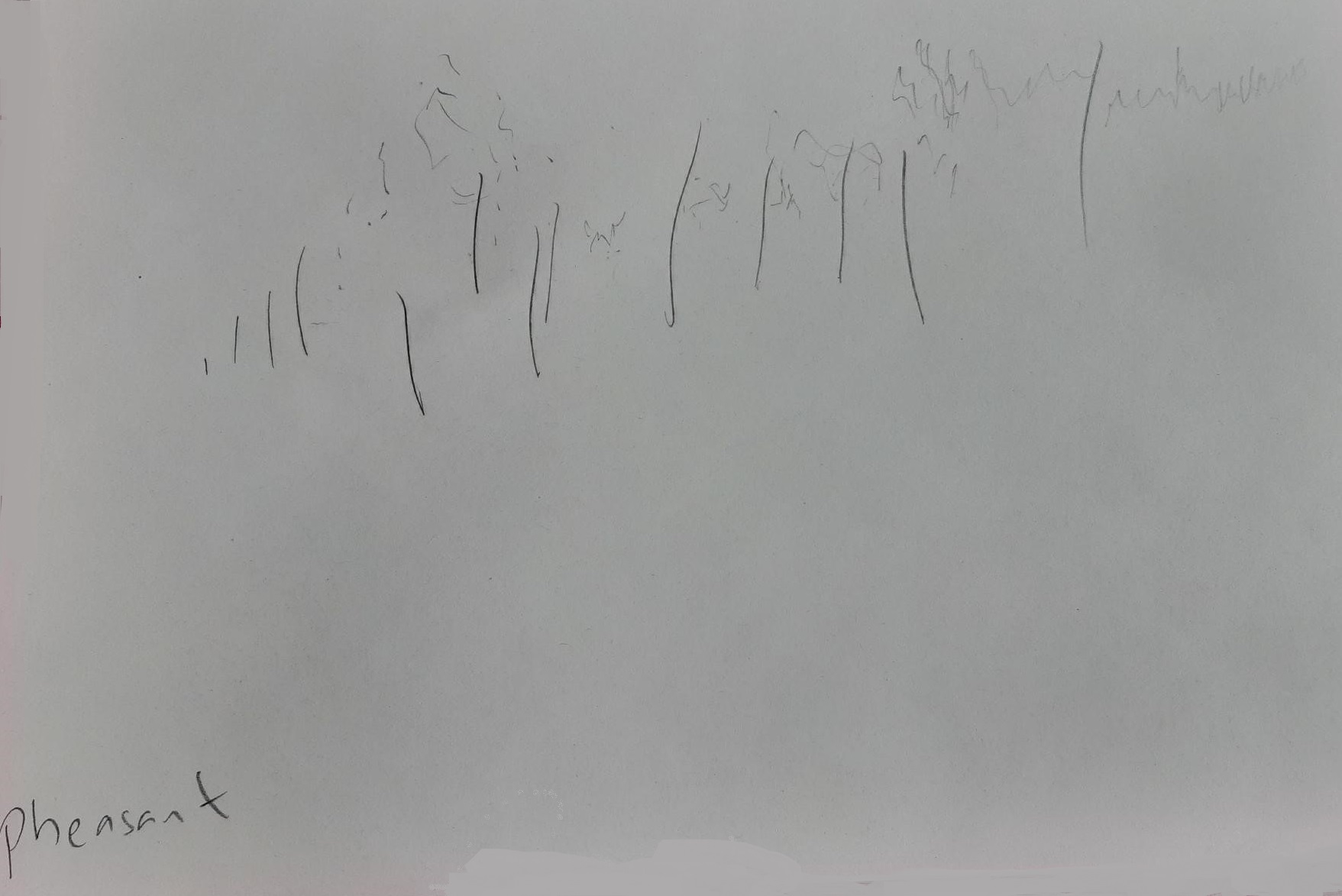 Drawing of pheasant's song